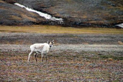 IMG_0087 reindeer adventuresofacouchsurfer