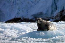 IMG_8585 bearded seal adventuresofacouchsurfer