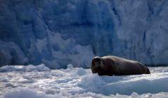 IMG_8601 bearded seal adventuresofacouchsurfer
