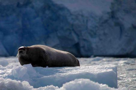IMG_8602 bearded seal adventuresofacouchsurfer