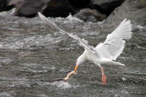 IMG_8660 glaucous gull adventuresofacouchsurfer