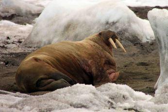 IMG_8726 walrus