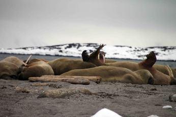 IMG_8733 walrus
