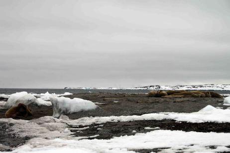 IMG_8749 walrus