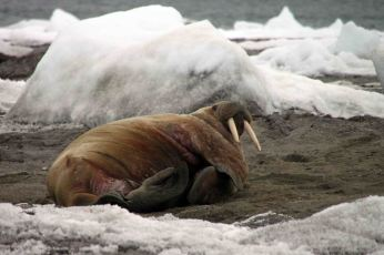 IMG_8752 walrus