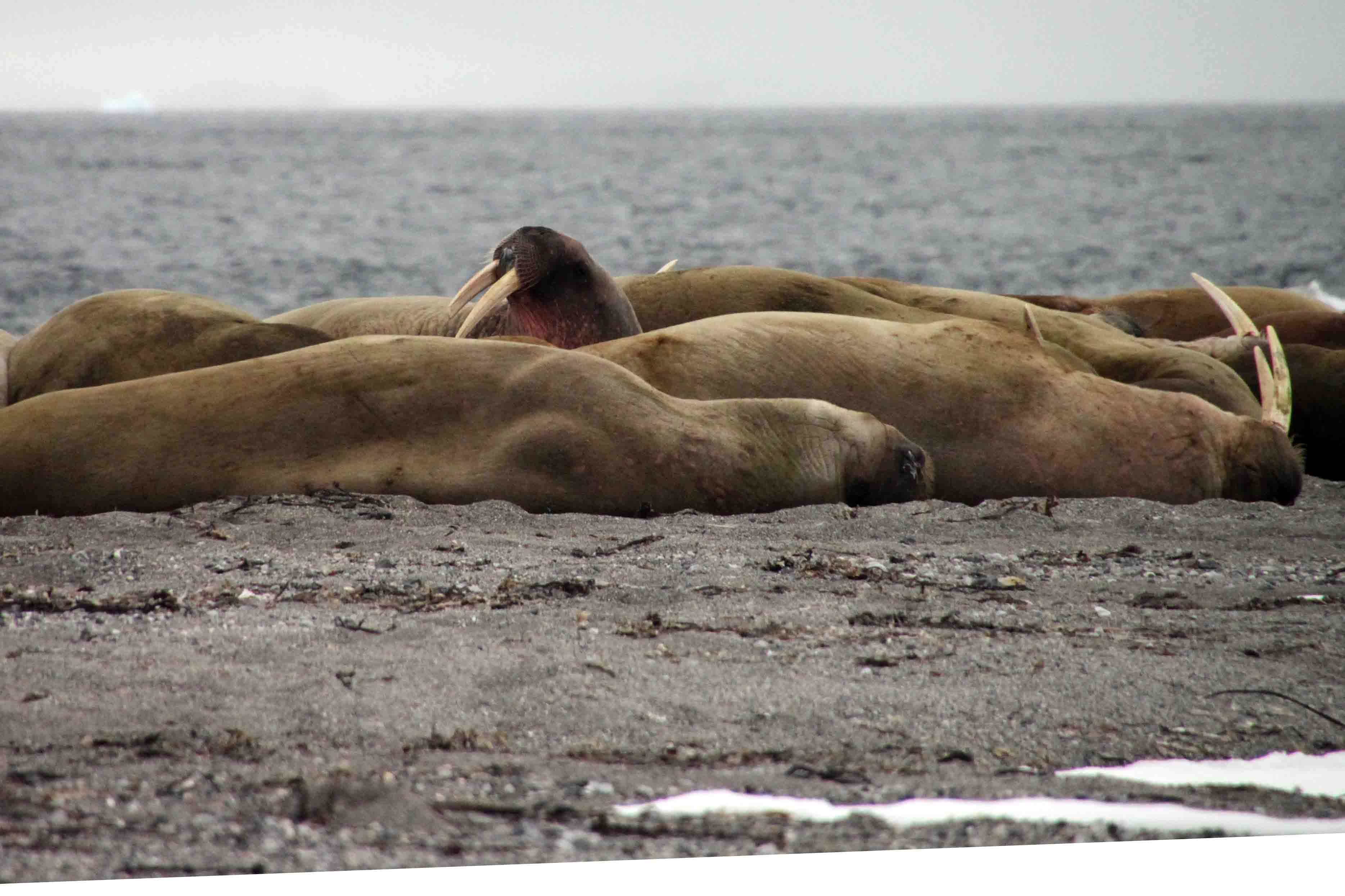 First Walrus Sighting in the Arctic! – ETB Travel Photography