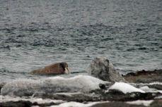 IMG_8779 walrus