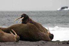 IMG_8798 walrus 2