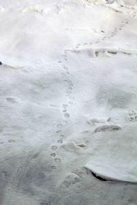 IMG_8802 polar bear prints