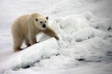 IMG_8861 polar bear adventuresofacouchsurfer