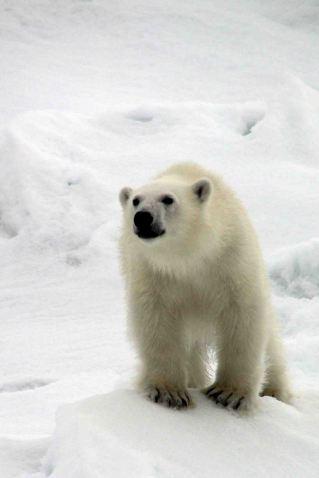 IMG_8885 polar bear adventuresofacouchsurfer