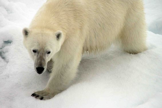 IMG_8909 polar bear adventuresofacouchsurfer
