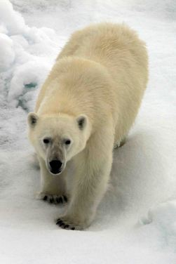 IMG_8911 polar bear adventuresofacouchsurfer