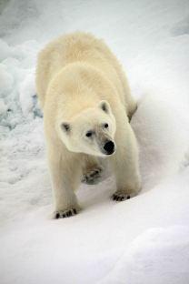 IMG_8914 polar bear adventuresofacouchsurfer