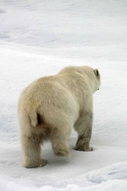 IMG_8994 polar bear adventuresofacouchsurfer