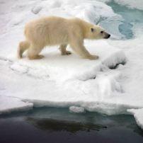 IMG_9124 polar bear adventuresofacouchsurfer