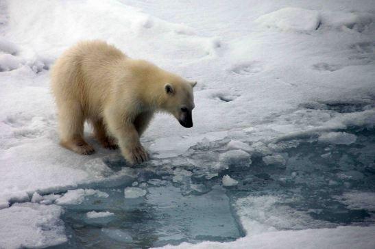 IMG_9146 polar bear adventuresofacouchsurfer