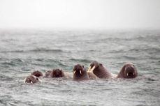 IMG_9550 walrus adventuresofacouchsurfer