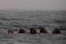 IMG_9551 walrus
