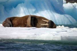 IMG_9721 walrus adventuresofacouchsurfer