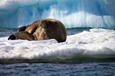 IMG_9725 walrus adventuresofacouchsurfer