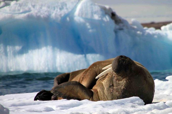 IMG_9727 walrus adventuresofacouchsurfer
