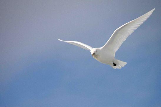 IMG_9743 ivory gull adventuresofacouchsurfer