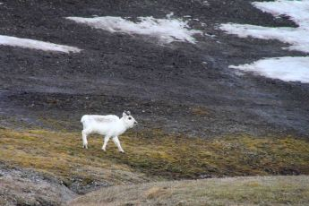 IMG_9821 reindeer