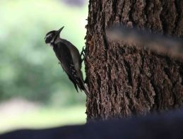 IMG_0488 woodpecker