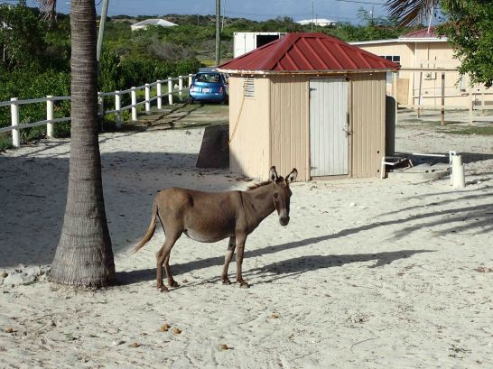 wild donkey