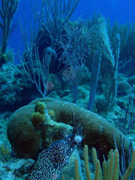 eel eating lionfish