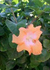 img_9624-hibiscus