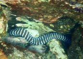 zebra eek