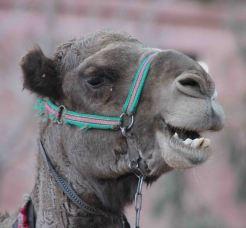 img_0072-camel