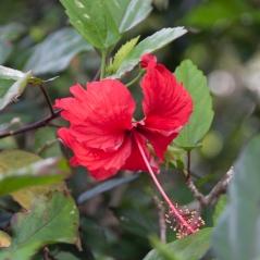 img_2095-hibiscus