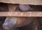 img_2203-pig