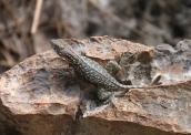 img_2213-lizard