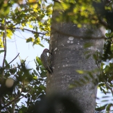 img_2308-woodpecker
