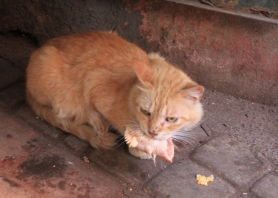 cat eating rooster head