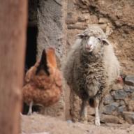 IMG_2515-sheep