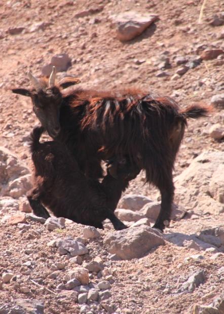 IMG_2570-goats