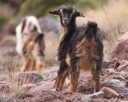 IMG_2588-goat