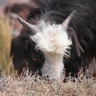 IMG_2589-goat