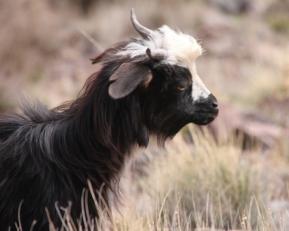 IMG_2592-goat