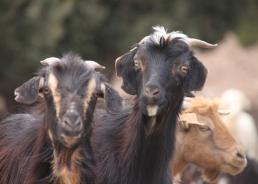 IMG_2633-goats