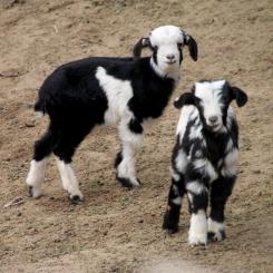 IMG_2668-goats