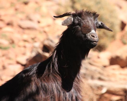 IMG_2751-goat