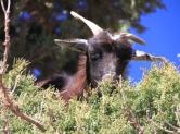 IMG_2756-goat