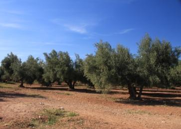 IMG_2832-olive-tree