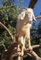 IMG_2844-goat